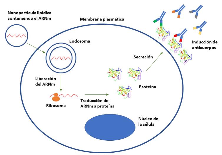 Tecnología mARN vacunas